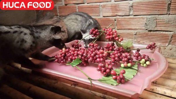 Cà phê chồn ngon giá bao nhiêu, mua cà phê chồn arabica, robusta, moka ở đâu