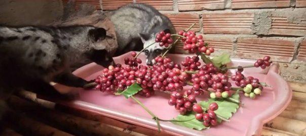 Cà phê chồn giá bao nhiêu mua cà phê chồn ở đâu giá tốt - Huca Food CoLtd