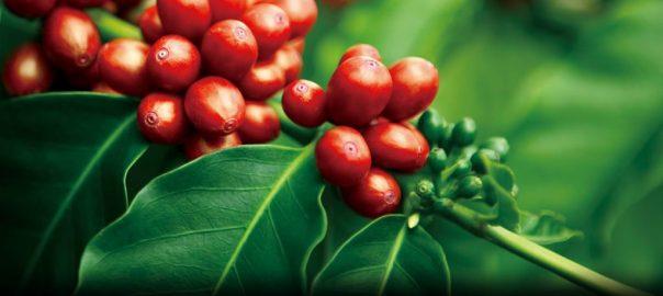 Cà phê hữu cơ là gì và những điều bạn cần biết về cà phê hữu cơ - Huca Food CoLtd