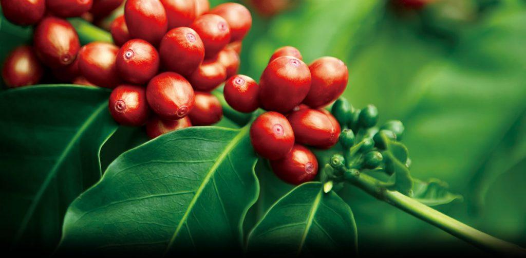 Cà phê hữu cơ là gì và những điều bạn cần biết về cà phê hữu cơ!.