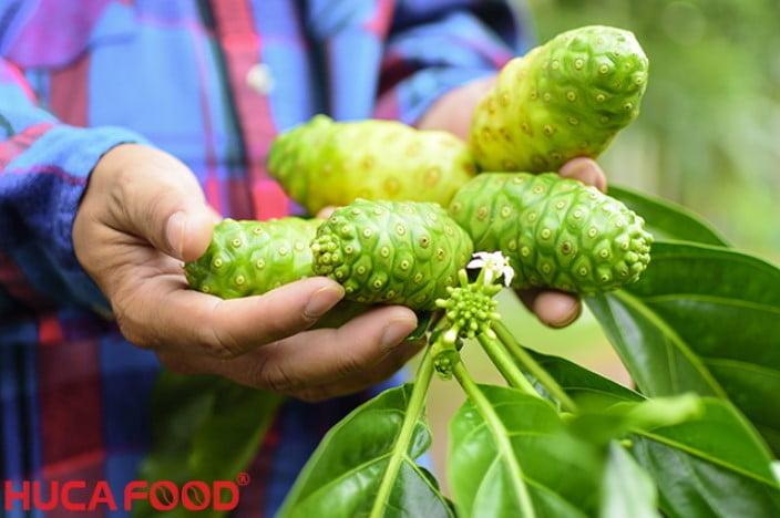 Mua bột nhàu nguyên chất 100 ở đâu Công dụng của trái nhàu - Huca Food CoLtd