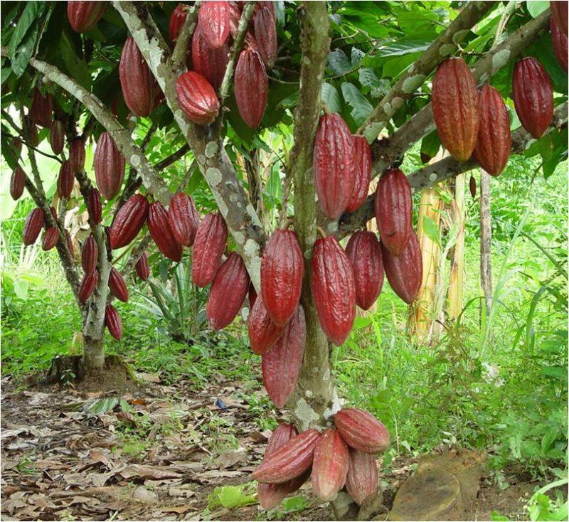 Mua bột ca cao nguyên chất ở đâu, công dụng của cacao đối với sức khỏe như thế nào, cách dùng bột ca cao nguyên chất cần chú ý những gì?